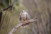 Prairie Falcon-2042