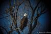 Bald Eagle-7034