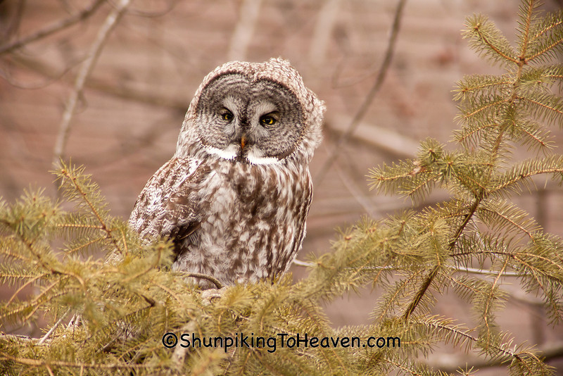 Great Gray Owl, Middleton, Wisconsin