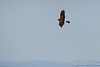 Harrier-8052
