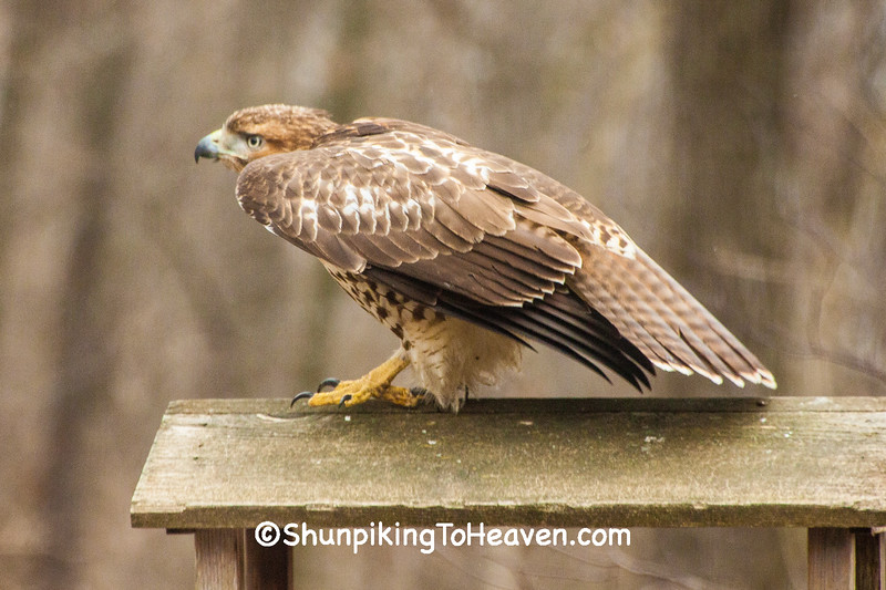 Juvenile Red-Tailed Hawk, Dane County, Wisconsin