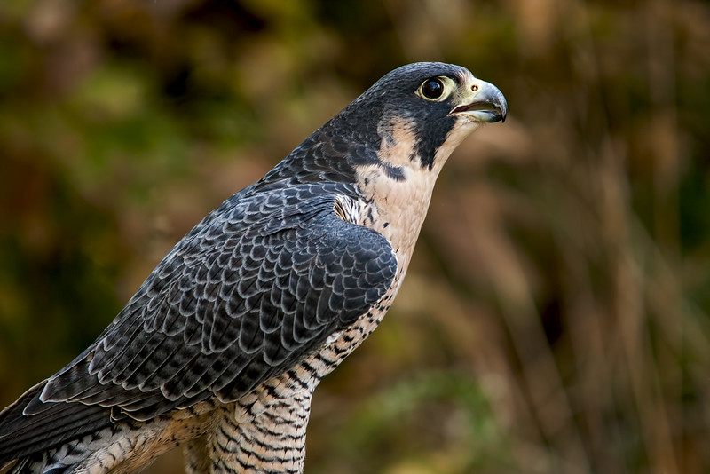 Peregrine falcon - taken by Jerry Dalrymple