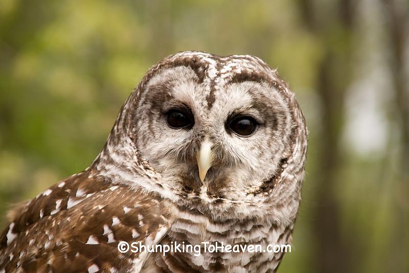 Barred Owl, Sand Bluff Bird Observatory, Winnebago County, Illinois