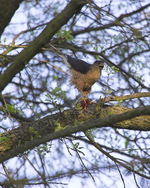 Cooper's Hawk,4029C
