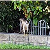 Coopers Hawk...neighborhood......Aug 26, 2011