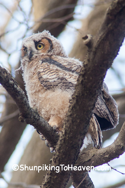 Great Horned Owl Fledgling, Dane County, Wisconsin