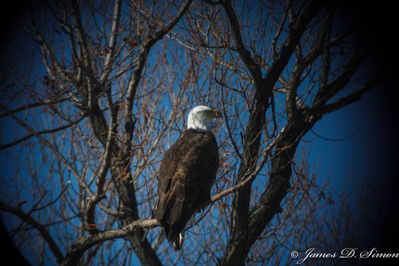 Bald Eagle-7036