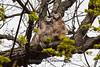 Great Horned Owl Fledglings, Dane County, Wisconsin
