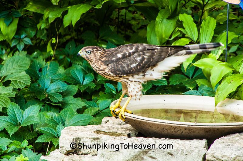 Cooper's Hawk in Birdbath, Dane County, Wisconsin