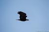 Bald Eagle-7918