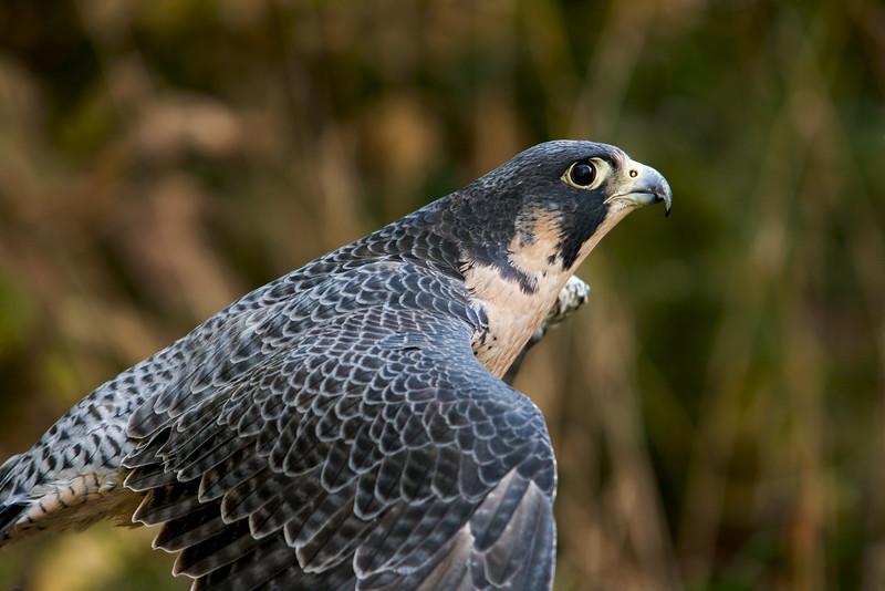 Peregrine Falcon - taken by Jerry Dalrymple