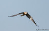 Juvenile Kite-2226