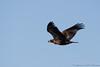 Bald Eagle-7869