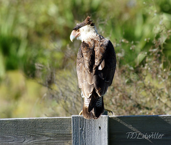 Caracara in Ed Chance Preserve, Southwest florida water management disctrict
