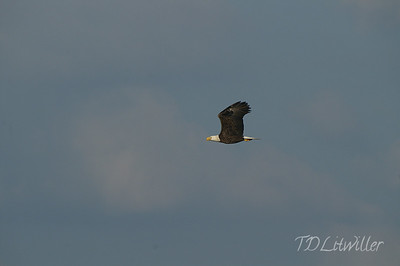 Bald Eagle at Myakka State Park.