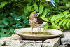 Cooper's Hawk in Birdbath, Dane County, Wisconsin