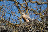 Red Shouldered Hawk-1186
