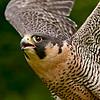 Peregrine Falcon - Jerry Dalrympole