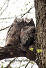 Great-Horned Owl Fledglings, Dane County, Wisconsin