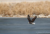 Bald Eagle over Ice-7794