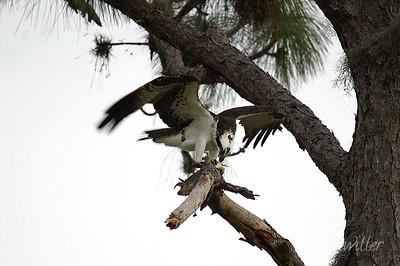 Osprey feeding.