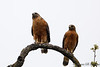 Red-shouldered Hawk Where's the cigarette?-6143