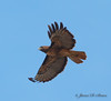 Red-Tailed Hawk-