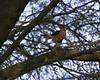 Cooper's Hawk,4033C