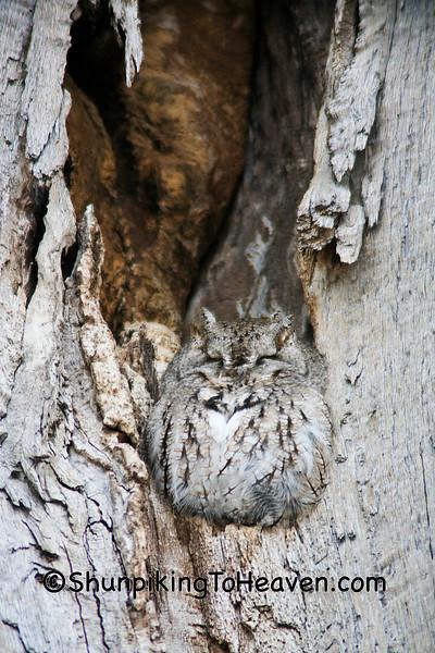 Eastern Screech Owl Camouflaged in an Oak Tree, Winnebago County, Wisconsin