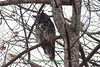 Great Horned Owl, Dane County, Wisconsin