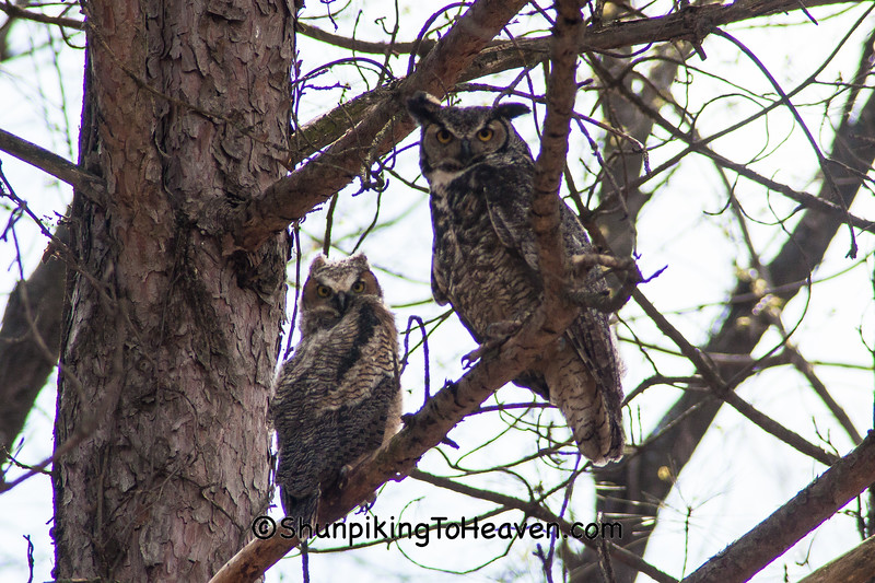 Great Horned Owl Fledgling and Adult, Dane County, Wisconsin