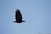 Bald Eagle-7921