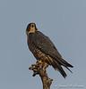Peregrine Falcon-9136
