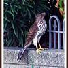 Coopers Hawk...Neighborhood...Clearwater, Florida...Aug 26, 2011