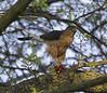Cooper's Hawk,4026C