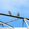 Red Tailed Hawks...Clearwater Florida...Oct 10, 2011