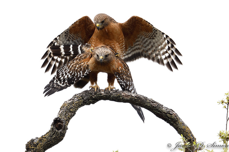 Red-shouldered Hawk Consummation-6141