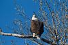 Bald Eagle-8109