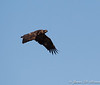 Immature Bald Eagle-8078