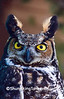 Rescued Great Horned Owl, Sauk County, Wisconsin
