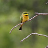 Yellow Bee Eater