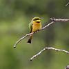 Yellow Bee Eater
