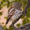 African Barred Owl