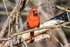 Northern Cardinal (Cardinalis cardinalis) in a tree in Baldwinsville, New York on Saturday, May 2, 2020.