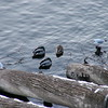 Birds under the Charles Bridge