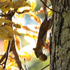 Red Squirrel descends Shagbark Hickory with feast; Pocosin Fire Rd.,  Skyline Drive 10/11/09.  This was taken just beyond Pocosin Cabin, where the critter has been sighted frequently.