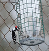 Downy woodpecker (?)