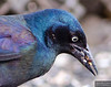 Grackle snacking on a bug.
