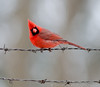 Male Northern Cardinal.  Whatchu lookin' at?