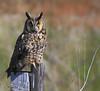 5234NIKLong Eared Owl